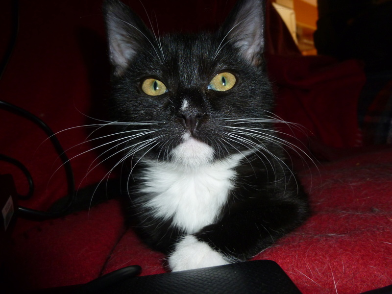 SOQUETTE, adorable chatonne de deux mois noire avec chaussons blancs P1030420