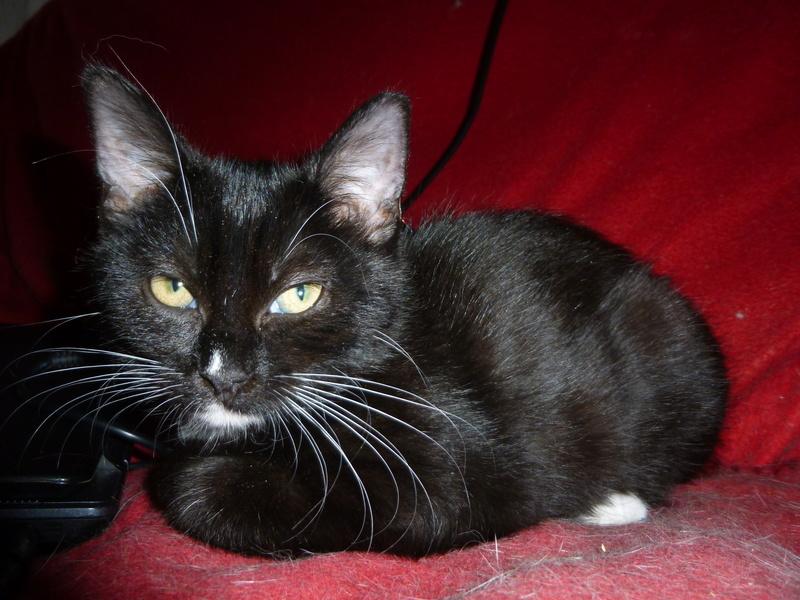 SOQUETTE, adorable chatonne de deux mois noire avec chaussons blancs P1030421