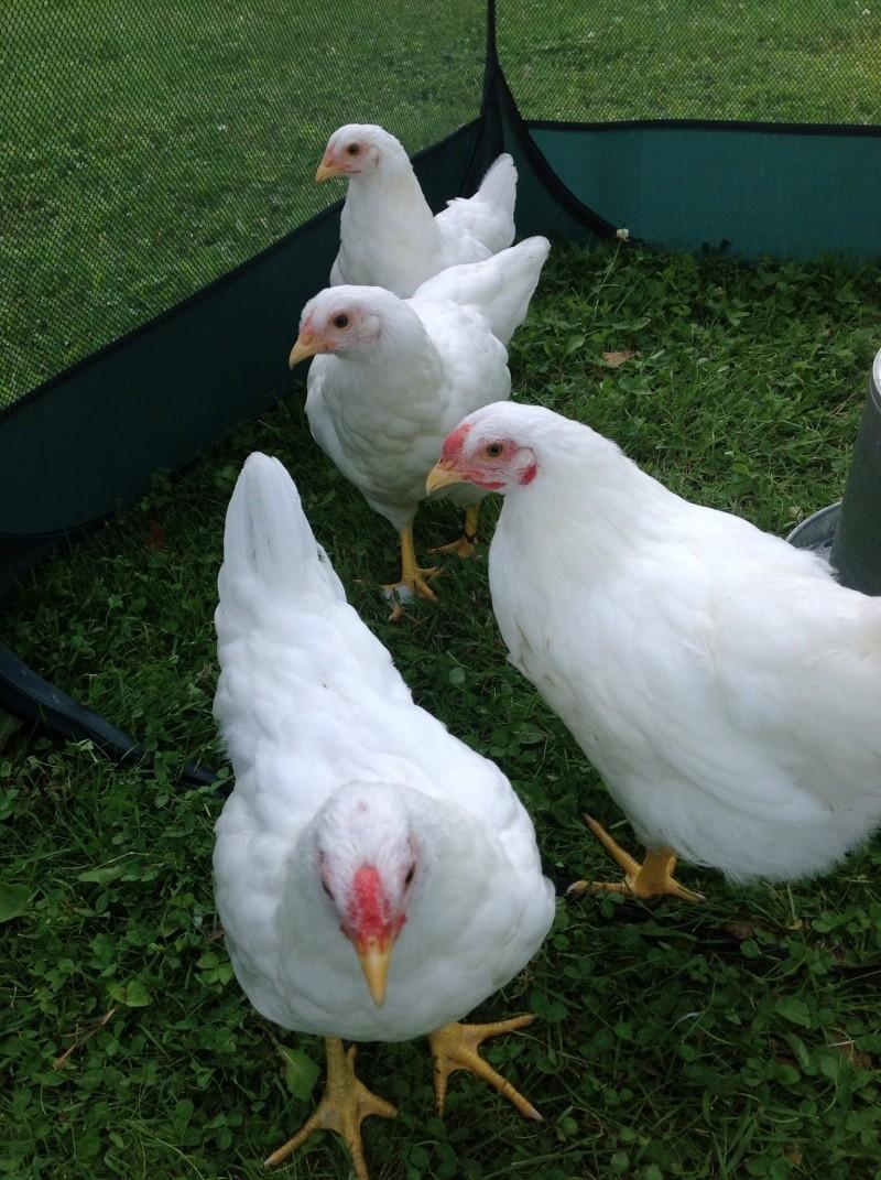 coqs ou poules les experts doivent se prononcer Img_0010