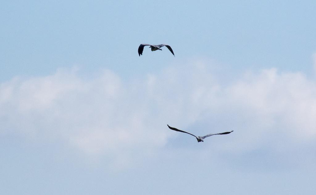 Tapon Heron_10