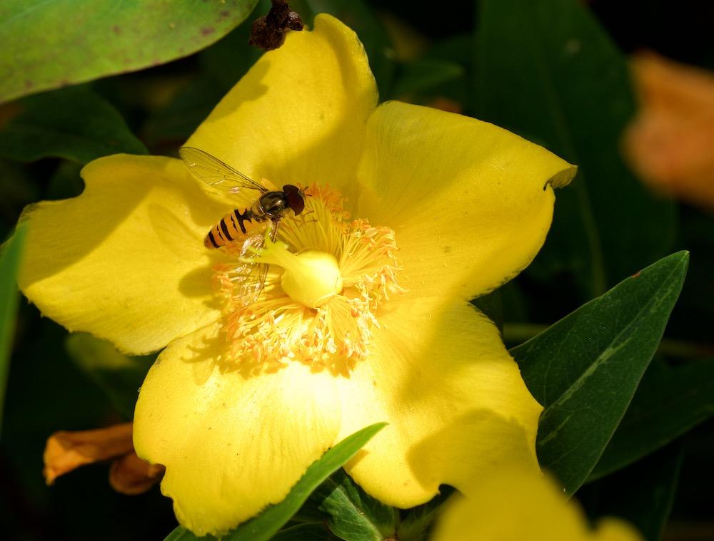 Et dans le jaune Roses_12