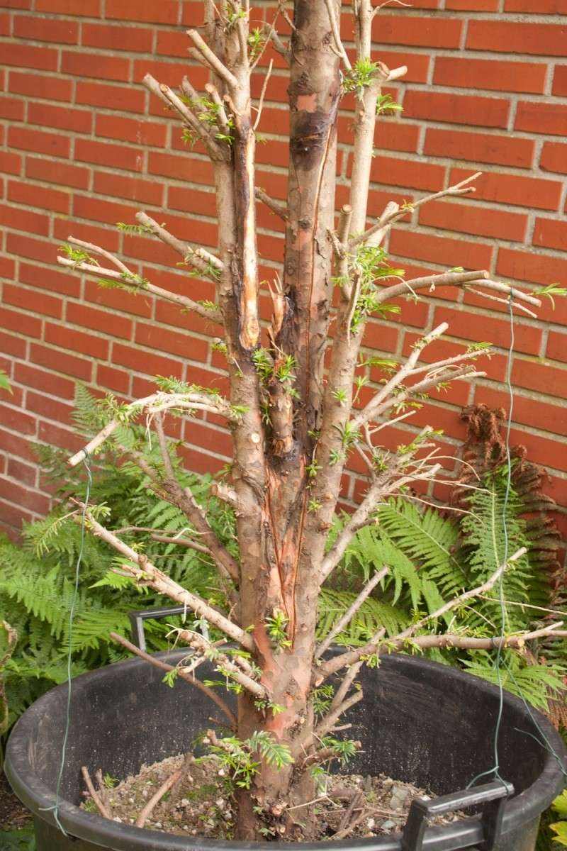 Taxus Baccata - Winter care 2011_010
