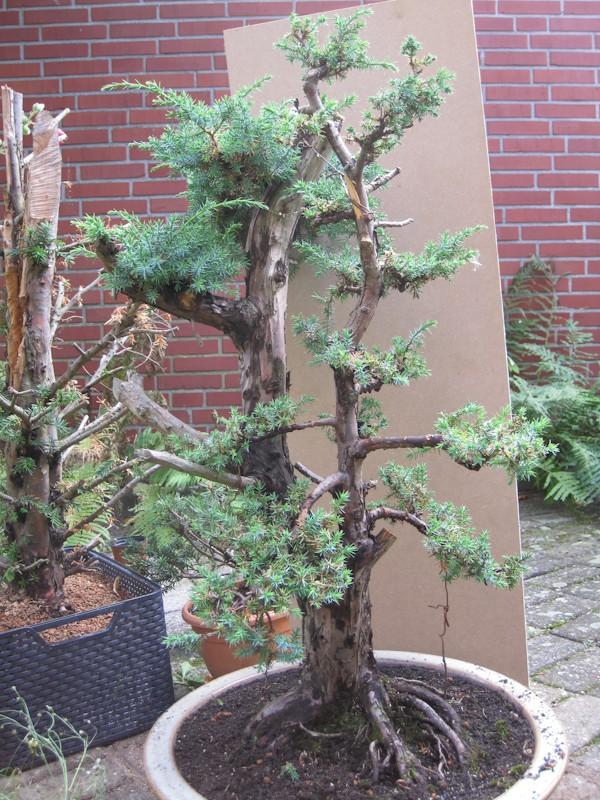 Juniperus Communis (?) start Bonsai14