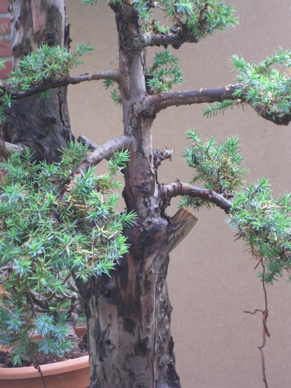 Juniperus Communis (?) start Bonsai15