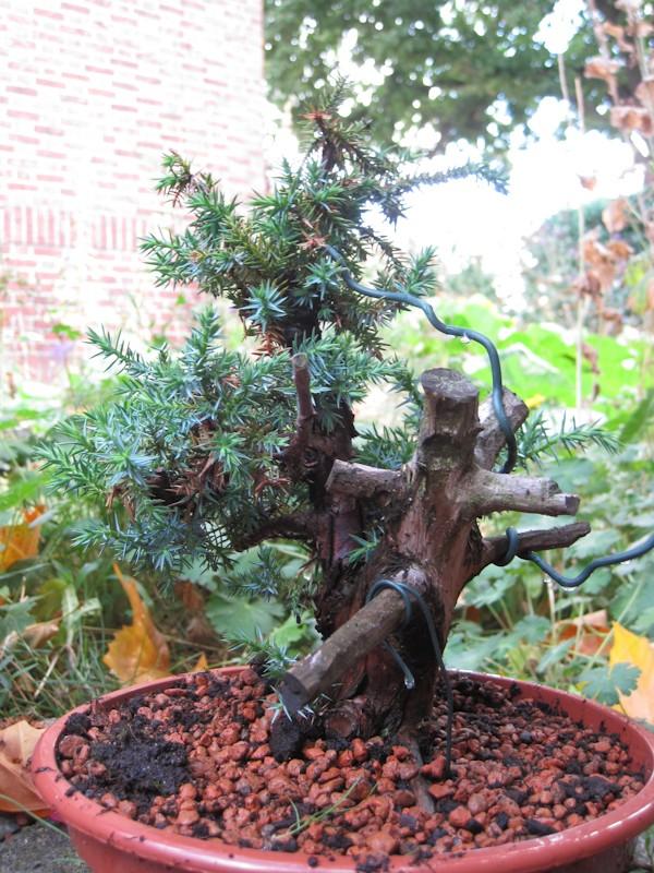 Juniperus Communis (?) start Bonsai16