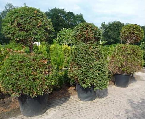 Taxus Baccata - Winter care Taxusb10