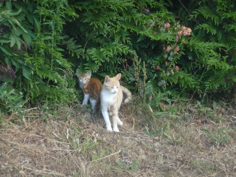 Myla, femelle type européen blanche et rousse née 01/09/2015 P1150511