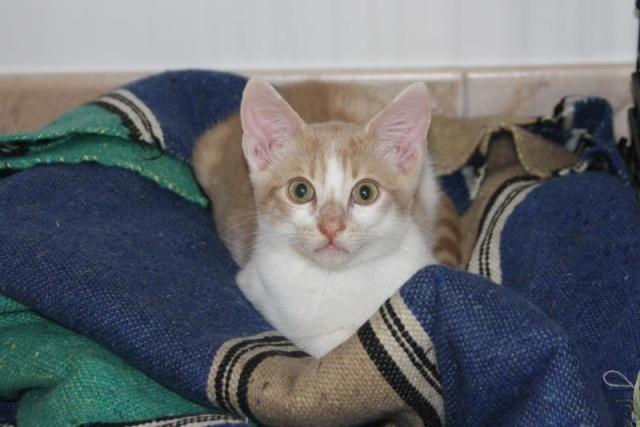Décibel chaton trigré roux et blanc 5 mois Dacibe10