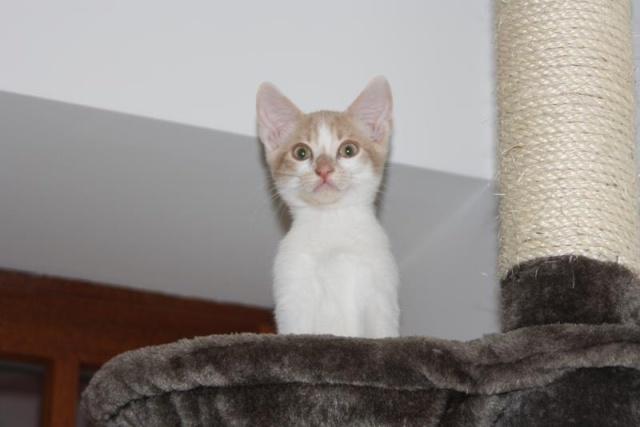 Décibel chaton trigré roux et blanc 5 mois Dacibe11