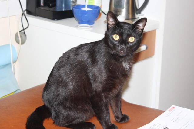 Hannibal chat mâle noir 8-9 ans Hannib10
