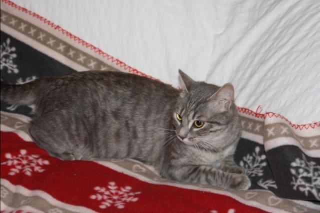Miss chatte grise tigrée 1 an et demi (FA St Hilaire-La Caillère) Miss10