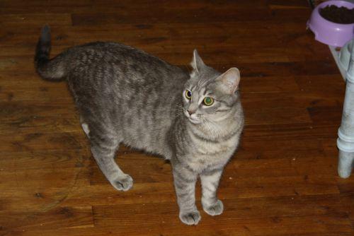 Miss chatte grise tigrée 1 an et demi (FA St Hilaire-La Caillère) Miss_211