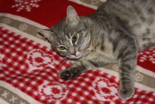 Miss chatte grise tigrée 1 an et demi (FA St Hilaire-La Caillère) Miss_310
