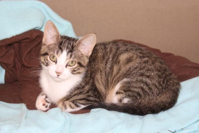Picchu chaton tigré gris avec le cou blanc Picchu11