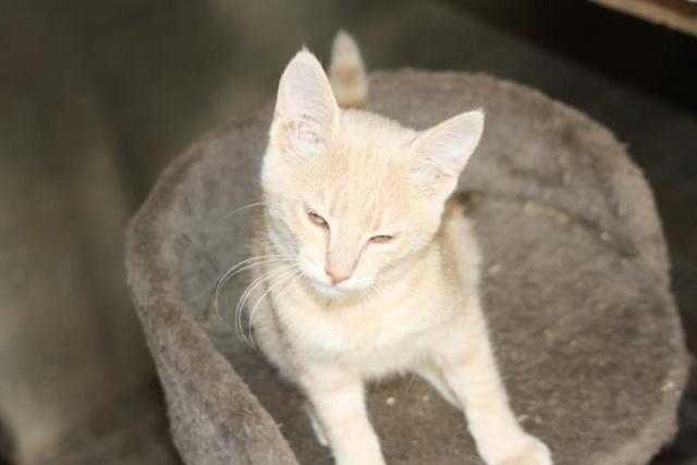 """Porcelaine femelle fawn """"sable et gris rose"""" 3 mois (FA Mouilleron en Pareds) Porcel10"""