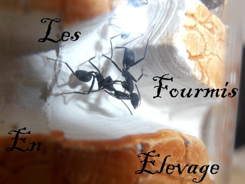 Les fourmis en élevage