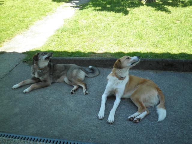 Nebraska husky x berger née 2009, ASSO 94  - Page 2 P5140414
