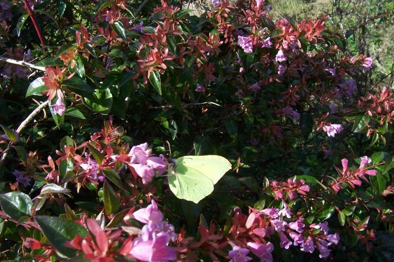 plantes mellifères : les meilleures plantes à insectes de vos jardins  100_1211