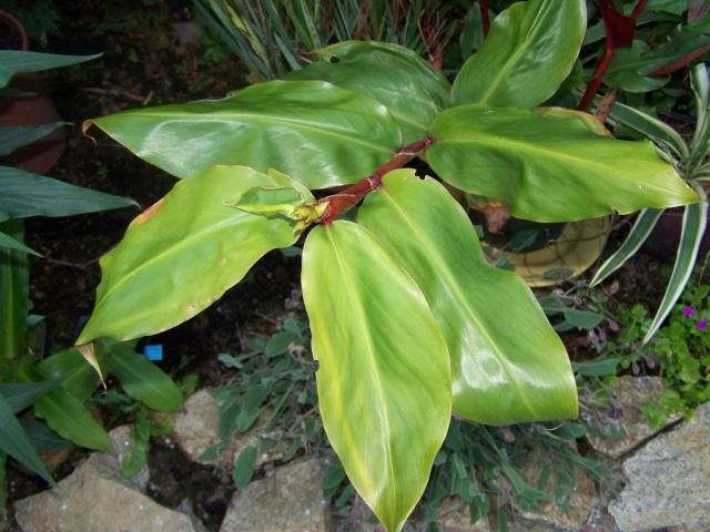 Hedychium greenii 100_6712