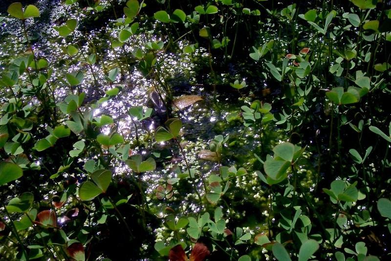 Marsilea quadrifolia 100_8113