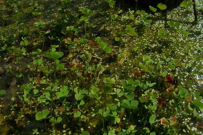 Marsilea quadrifolia 100_8114