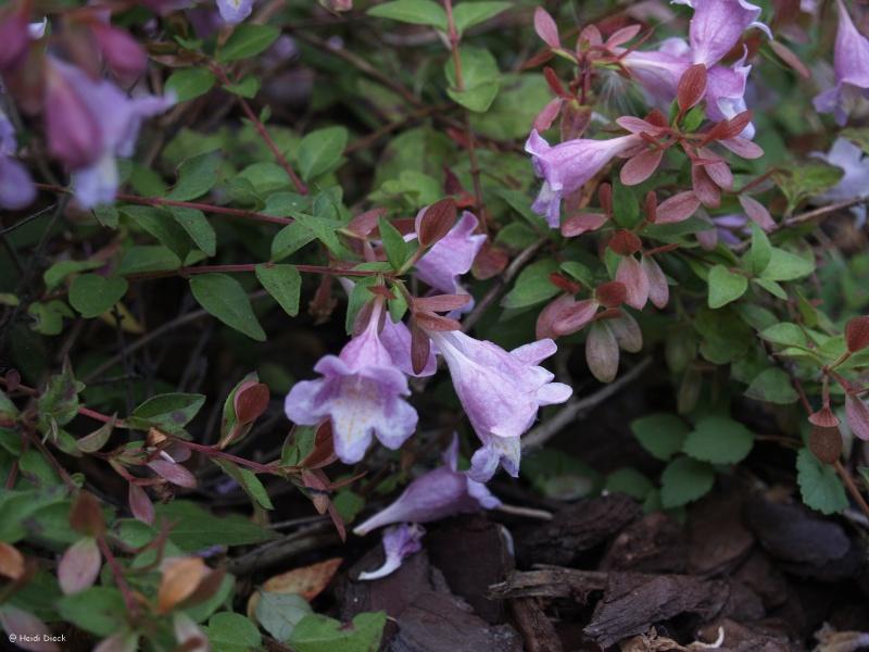 Abelia parvifolia (= A. schumannii) vs Abelia 'Edouard Goucher' Abelia14