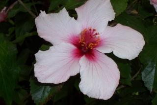 Floraisons d'intérieur  - Page 2 Hibisc10
