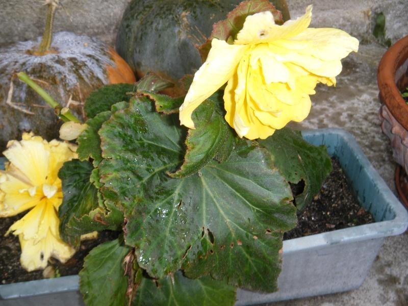 Bouture de bégonia à grande fleur jaune 00910