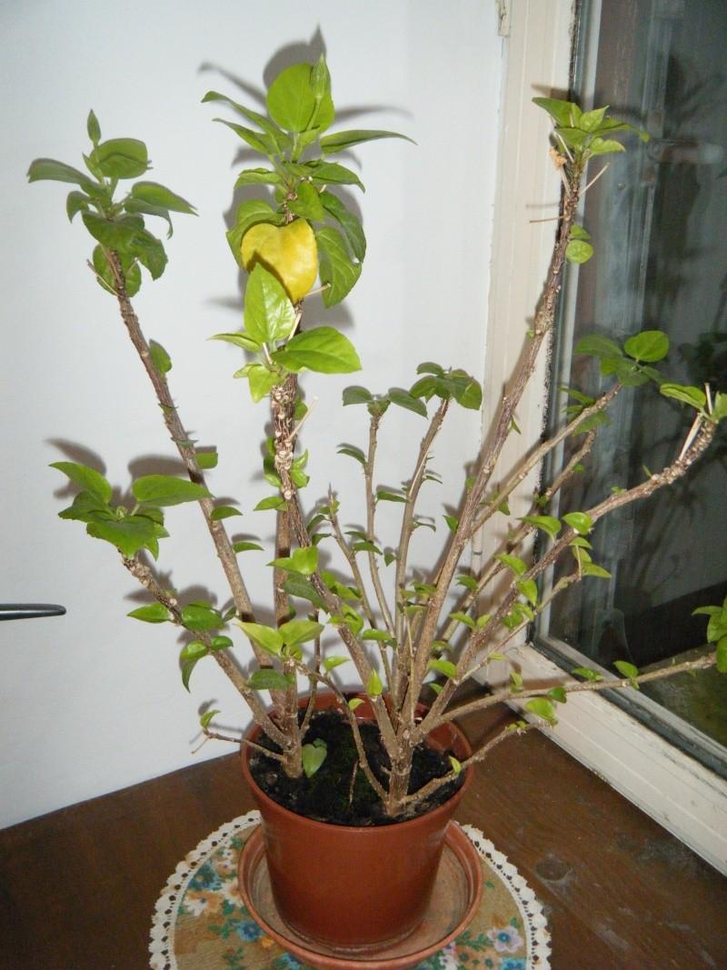 Mon hibiscus s'effeuille (sujet non censuré) - Page 2 2012_018
