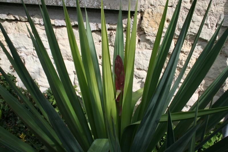 fleurs de yucca sp 2012_020