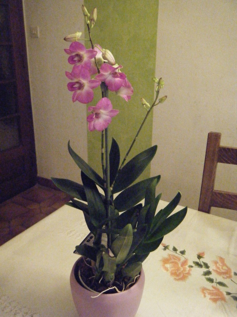 Dendrobium Phalaenopsis 2012_110