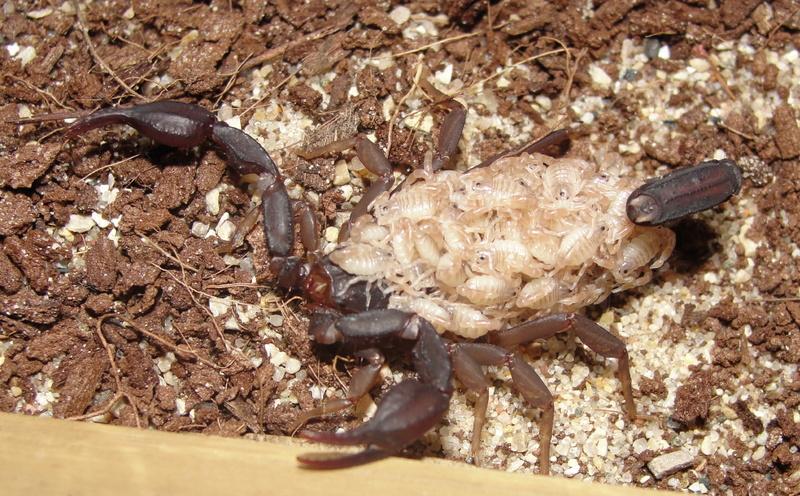 Pseudouroctonus reddelli with babies Predel12