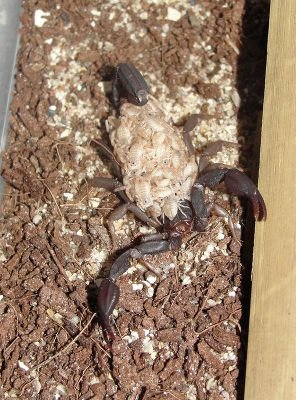 Pseudouroctonus reddelli with babies Predel13