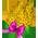 Arbre Cassia Golden12
