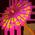 Arbre Cassia Purgin10