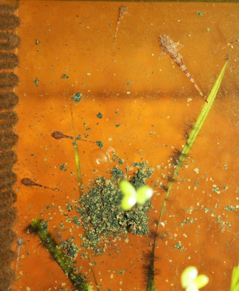 Hemiloricaria melini  - Page 2 Alevin18