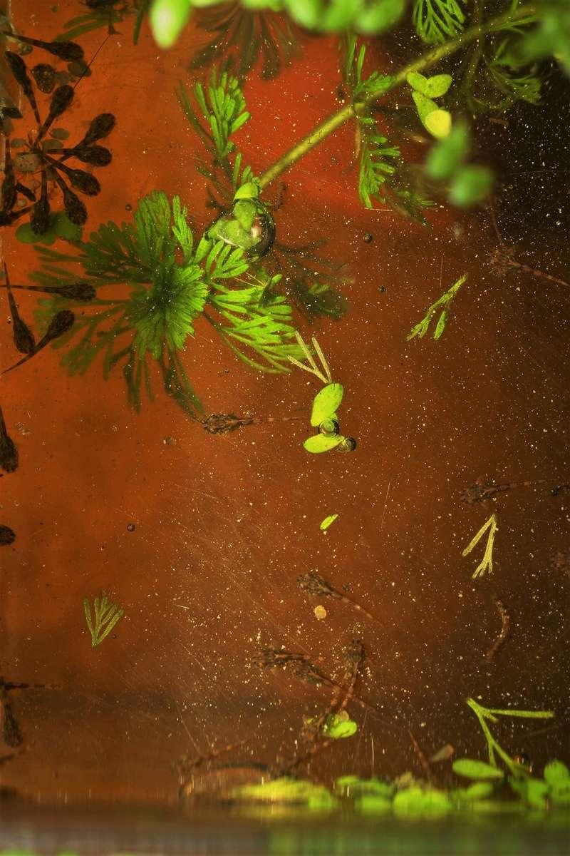 Hemiloricaria melini  - Page 2 Larves16