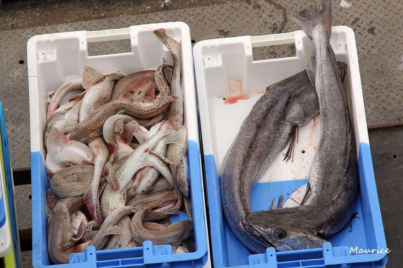 Le Guilvinec et St Guénolé ports de pêche du Pays Bigouden Img_7811