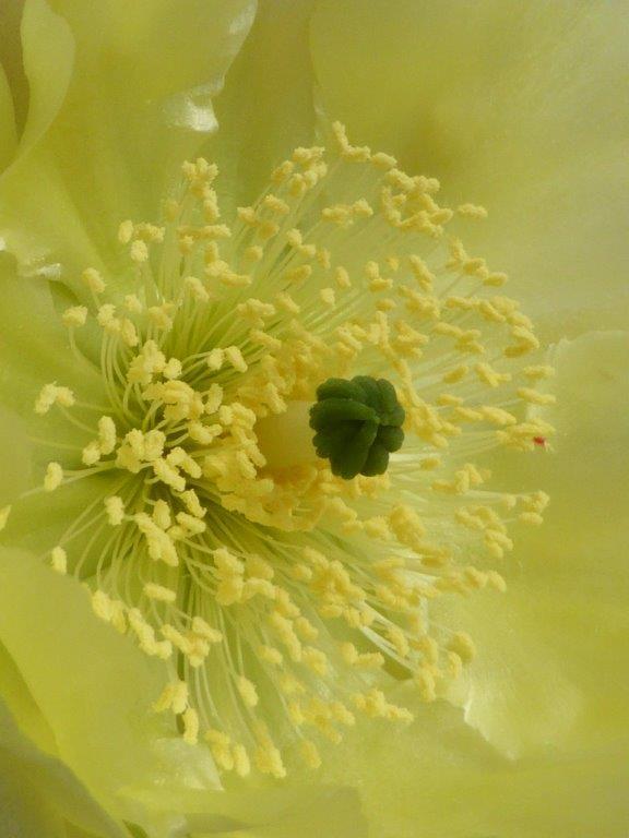 Opuntia scheerii P1140539