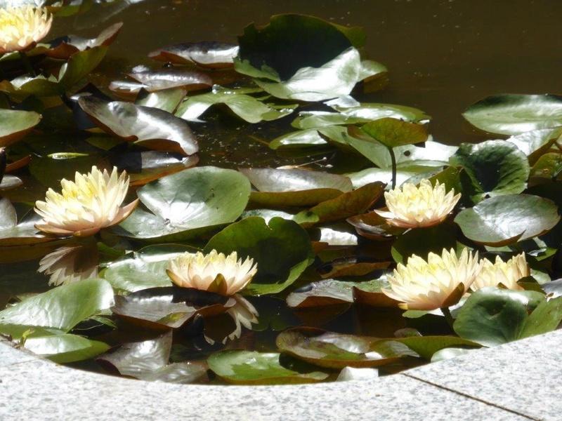 Seerosengewächse (Nymphaeaceae) P1150117