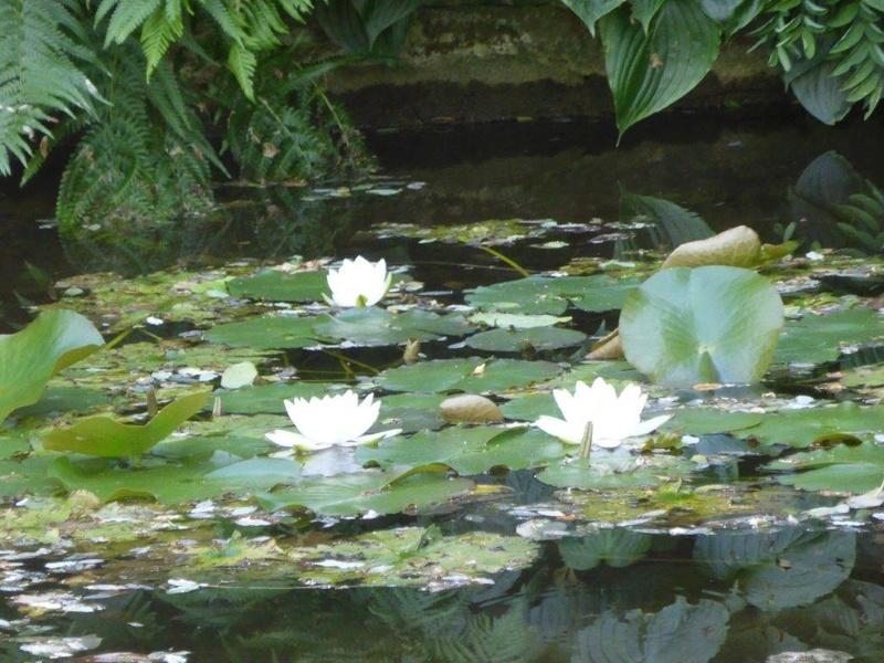 Seerosengewächse (Nymphaeaceae) P1150120