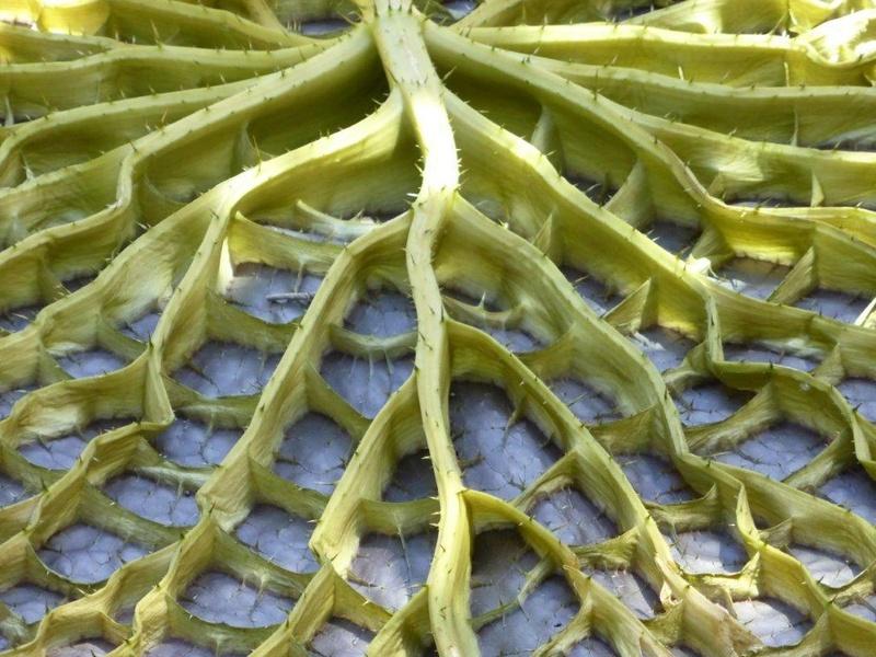 Seerosengewächse (Nymphaeaceae) P1150121