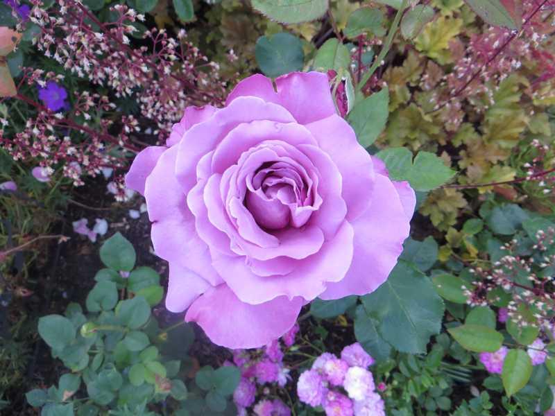rosier amétista Amytis10