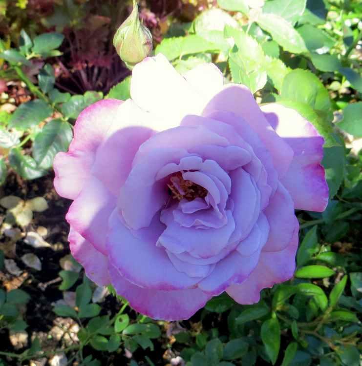 rosier amétista Amytis12