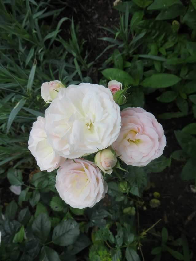 Rosa 'Bouquet Parfait' !!! - Page 7 Bouque11