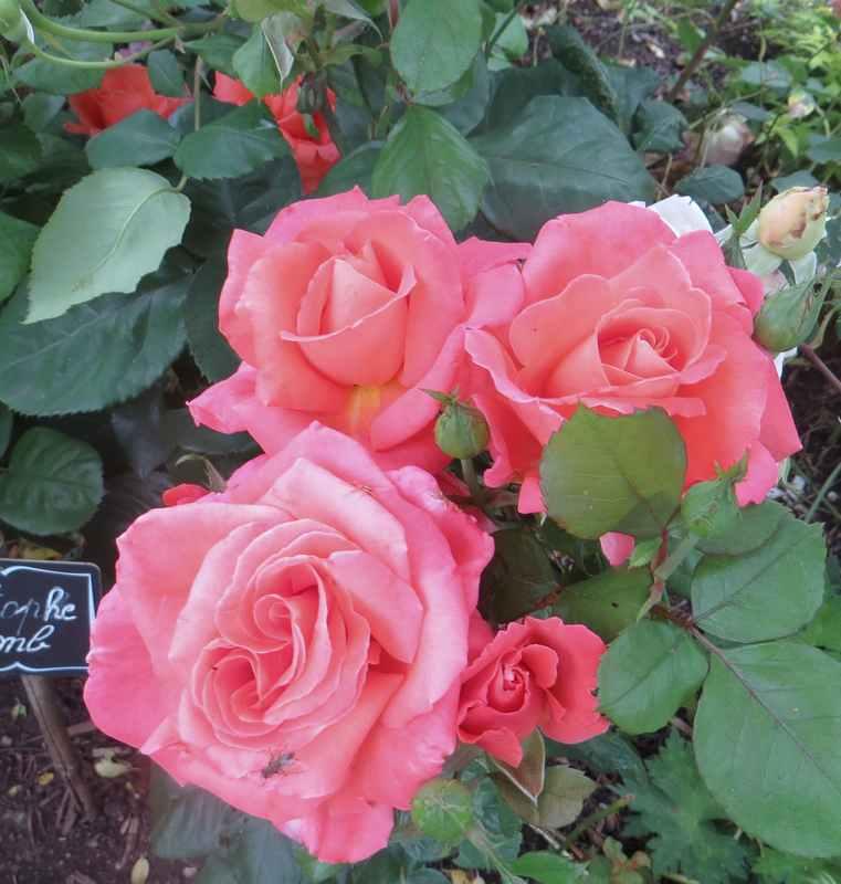 rosae Christophe Colomb Christ11