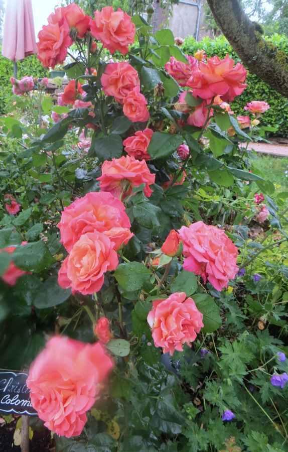 rosae Christophe Colomb Christ14