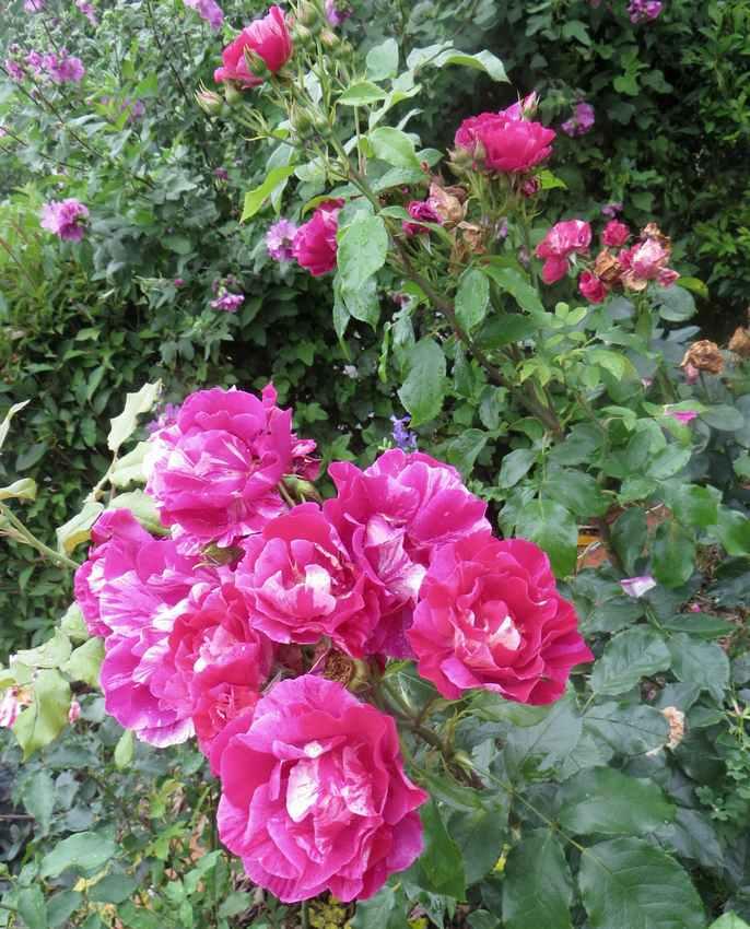 rosier Guy Savoie Guy_sa16
