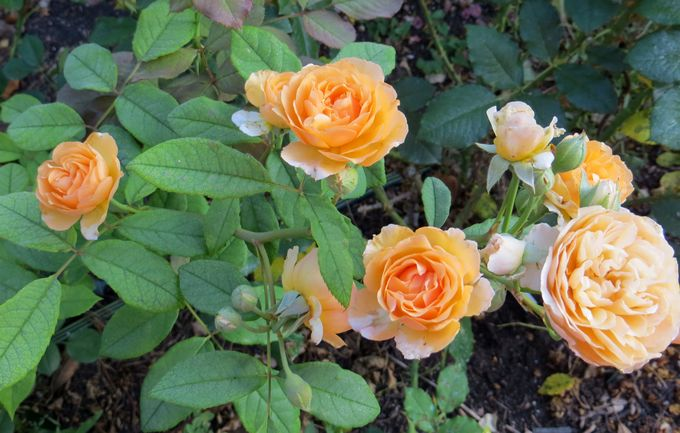 Rosa 'Buff Beauty' !!! - Page 3 Img_0533