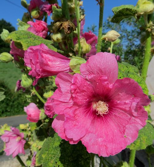 Les roses trémières (Alcea rosea) Img_0538